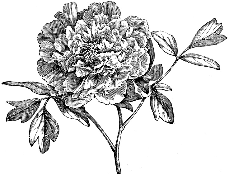 Peony clipart sketch On 193 projects sketch best