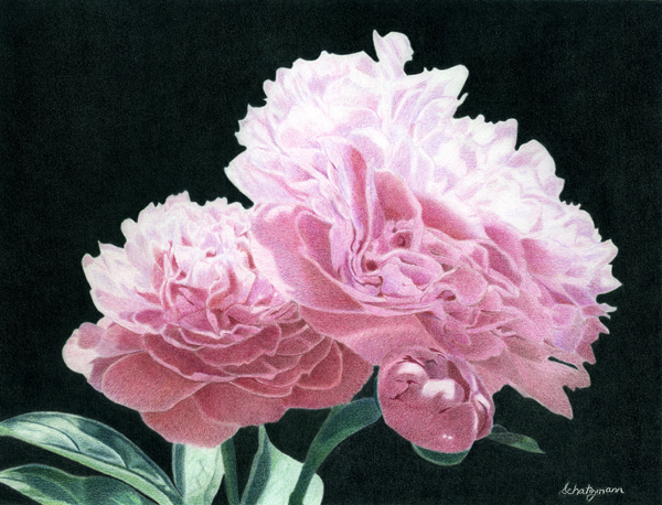 Drawn peony colored Archives Pencil Drawings Learn