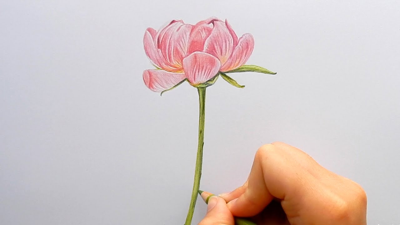 Drawn peony colored Rose/Flower Peony a Pink