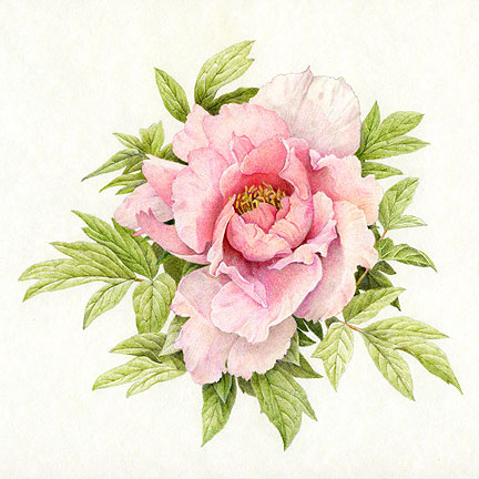 Drawn peony colored Peony Colour in Colored Pencil