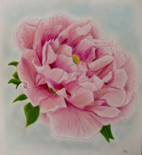 Drawn peony colored Drawing Pencil drawing Colored