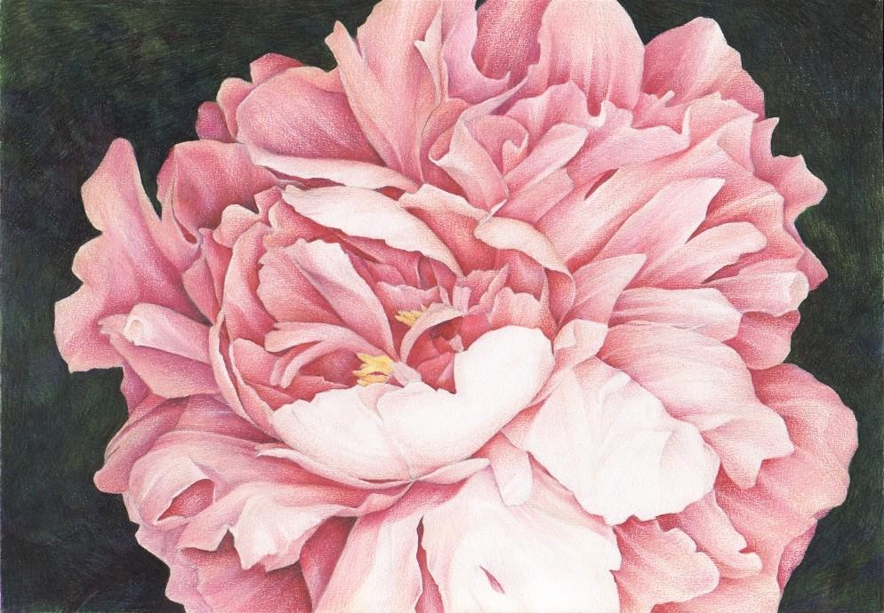 Drawn peony colored Blossom etsy By com Rose