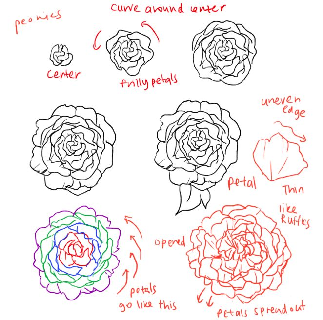Drawn peony easy Imgur draw Best to How