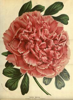 Drawn peony flower bucket Rose Art Botanical (23 liked
