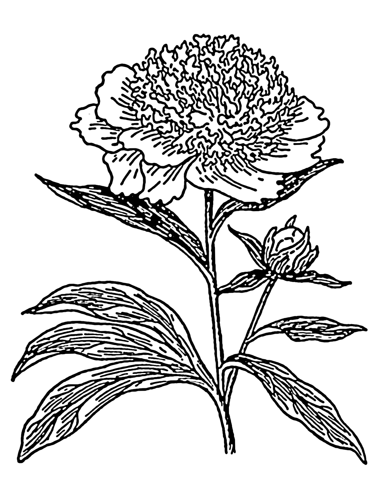 Drawn peony flower png File:Peony png Commons (PSF) png