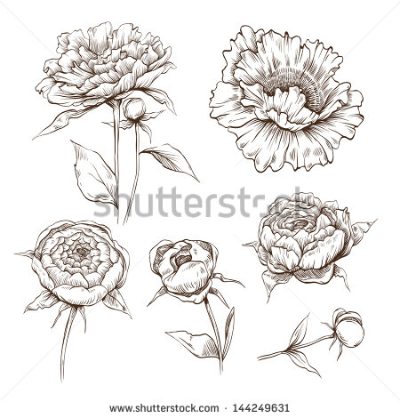 Drawn peony illustration Set royalty from For at