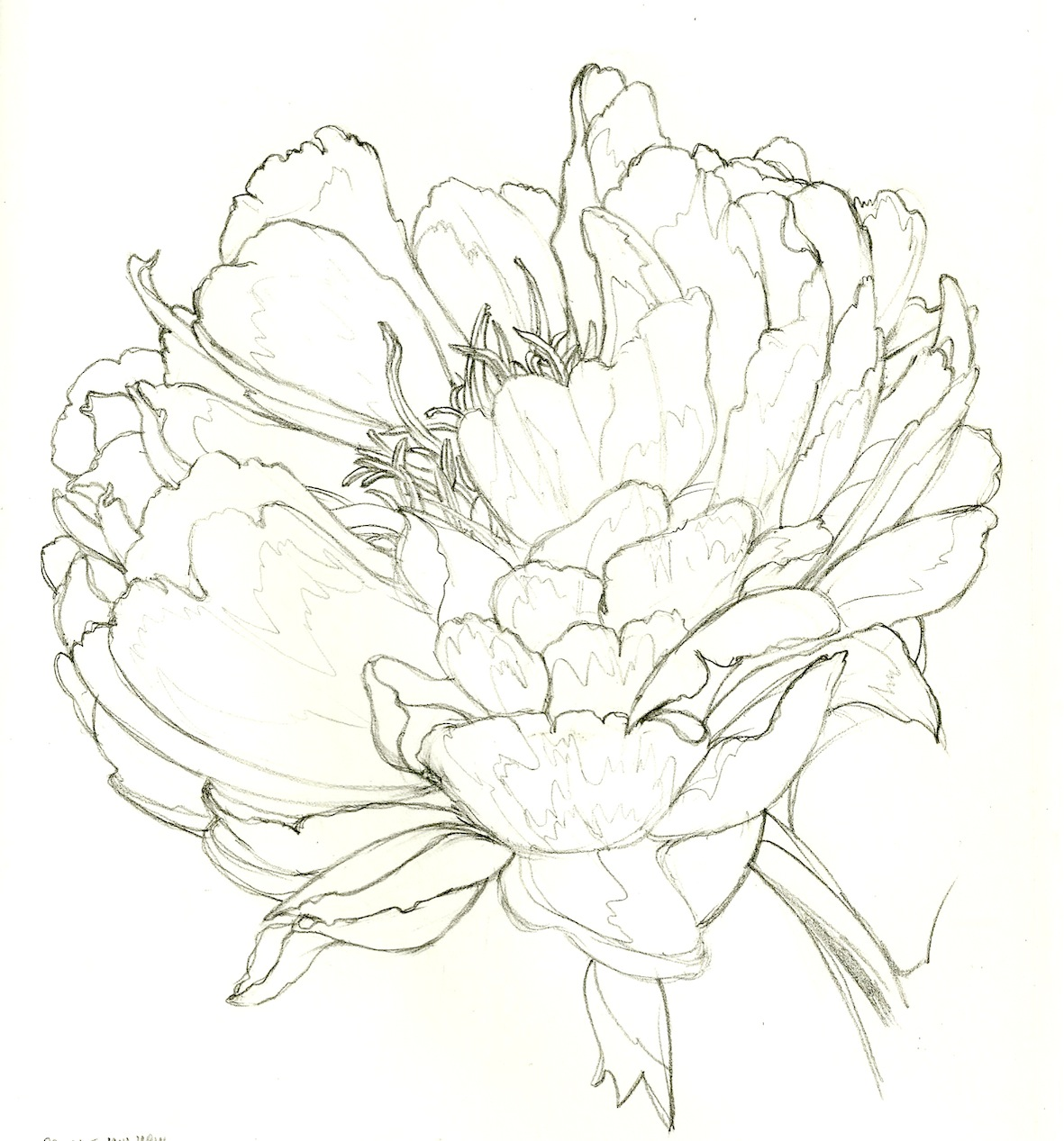 Drawn peony japanese Isolated in background for
