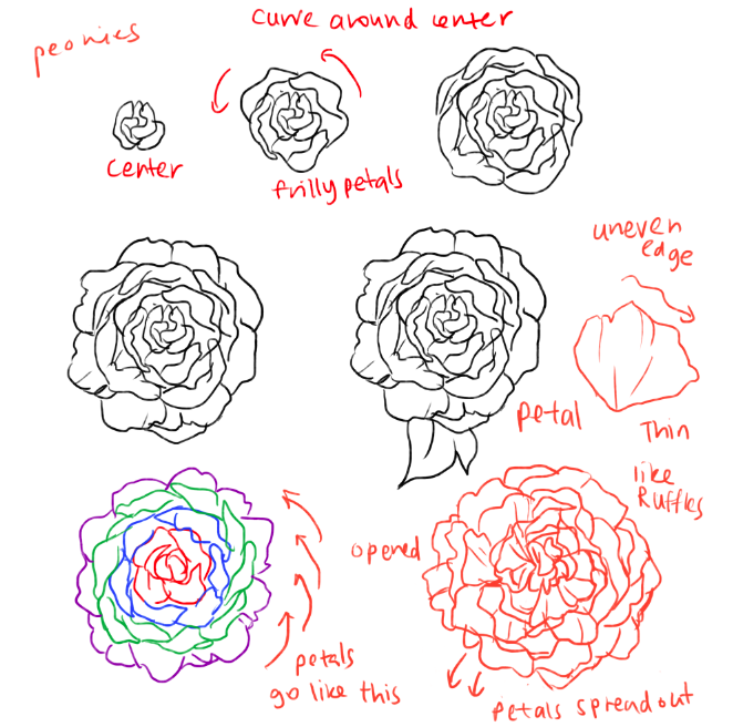 Drawn peony line drawing And arrangements/ draw roses to