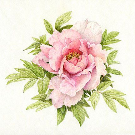 Drawn peony old fashioned flower In Pencil drawings Colored Drawings