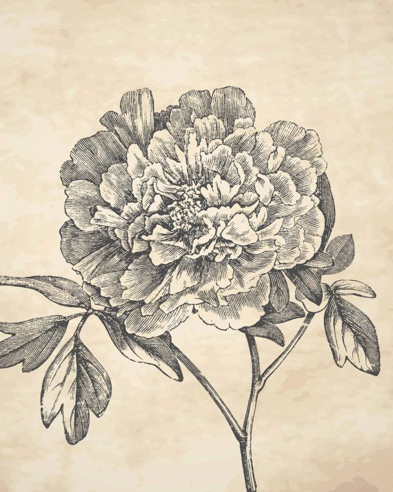 Drawn peony old fashioned flower Dahlias Peony Floral about Drawing