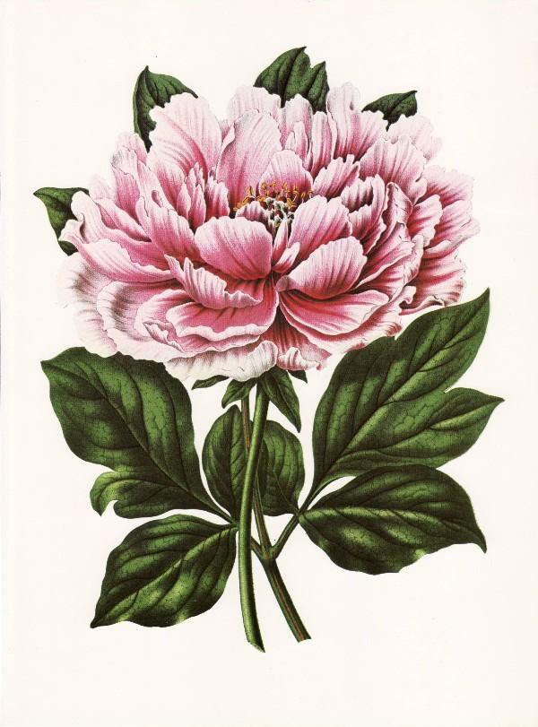Peony clipart vintage Prints ideas Clip flower on
