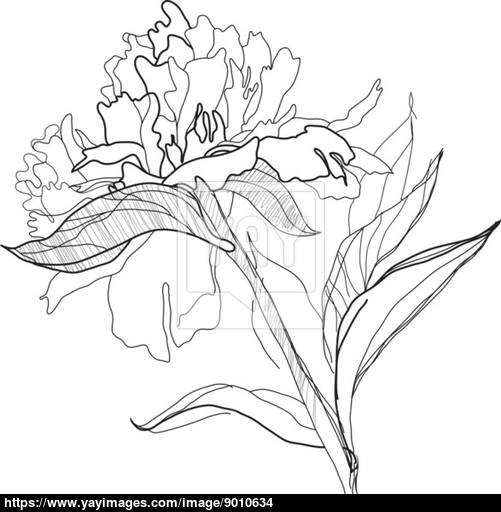 Drawn peony peonie Com YayImages vector drawing peony