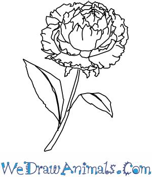 Drawn peony peony flower To  Draw How Flower