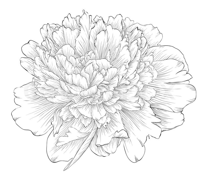 Peony clipart sketch Quality vector High Stock print