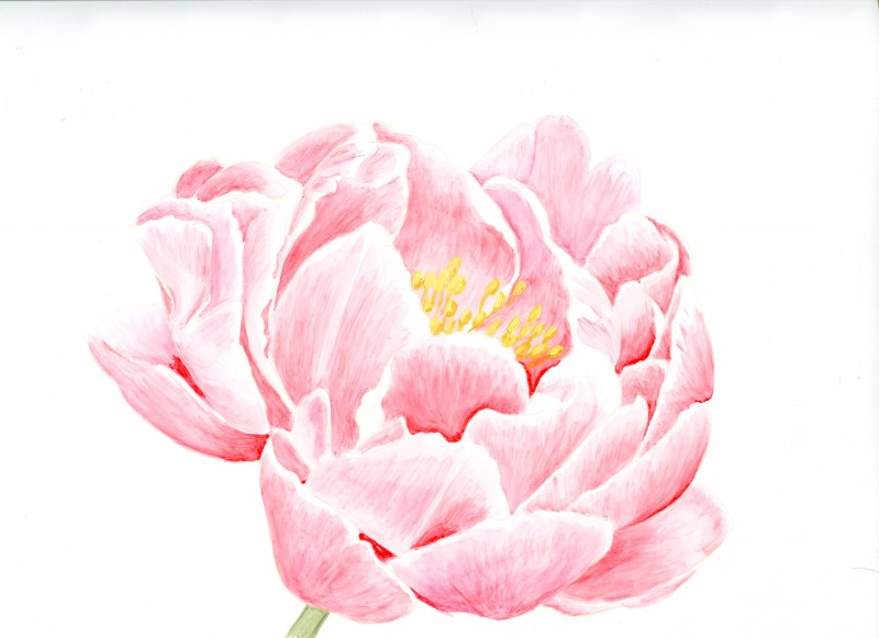 Drawn peony pink peony And colour Pinterest technique pencil