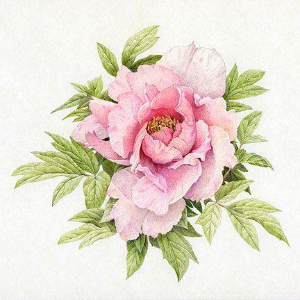 Drawn peony pink peony 46 Tattoos Red Pinterest on