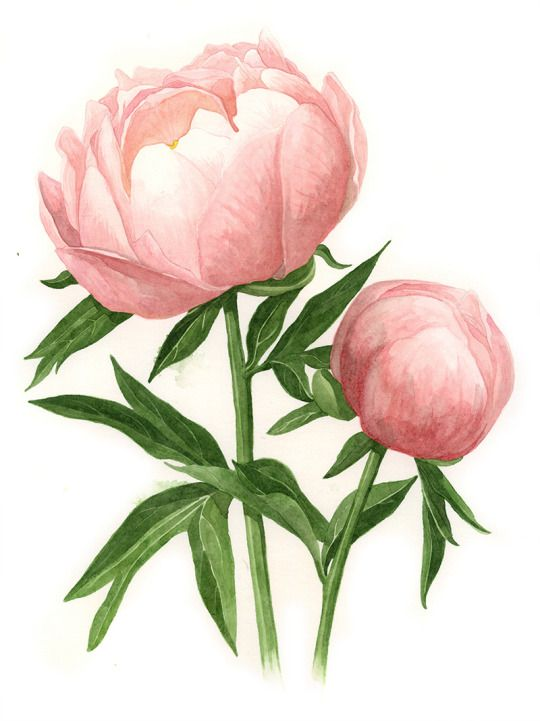 Drawn peony pink peony And Flowers The & leaves
