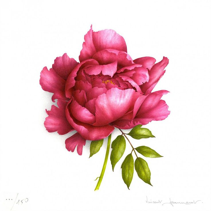 Drawn peony red peony Find and Peony on drawing