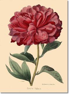 Drawn peony red peony Peony Peony Bernhardt Christine by