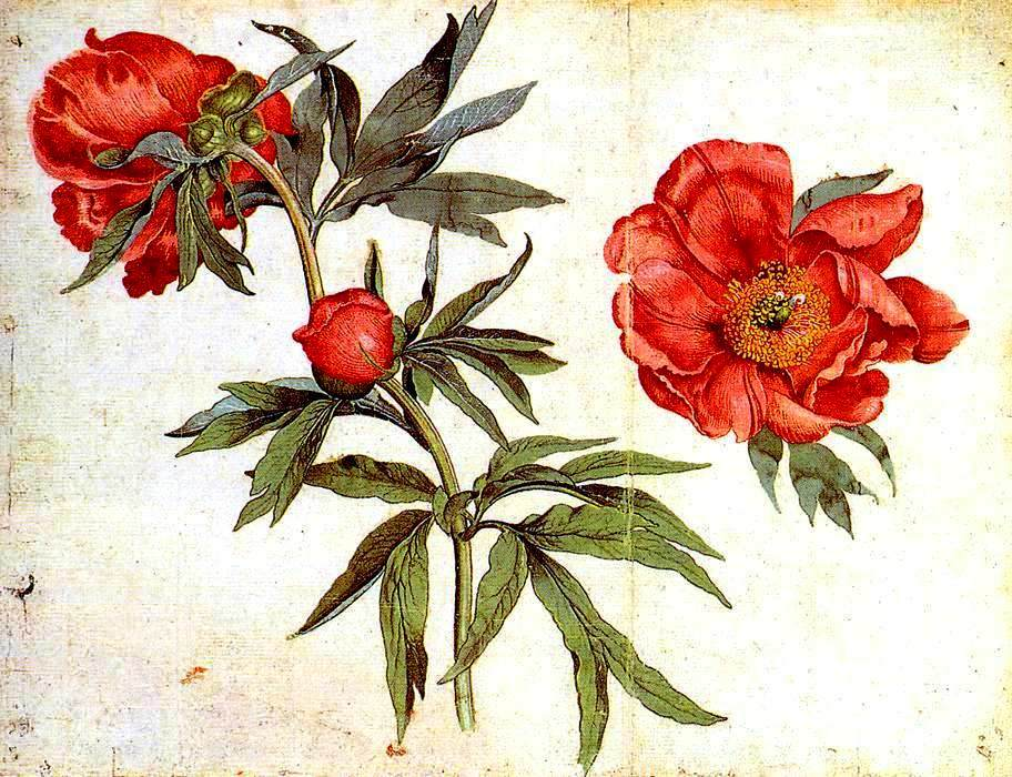 Drawn peony red peony Flower images – Vintage color
