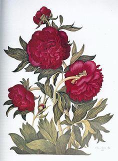 Drawn peony red peony Double (Paeonia paeonia 'Rubra P