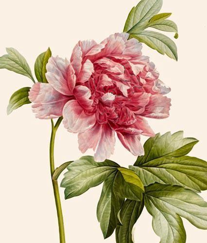 Drawn peony red peony Paeonia by Watercolor Bonpland plantes