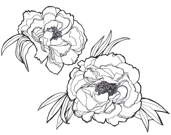 Drawn peony simple Best on Peonies 12 images