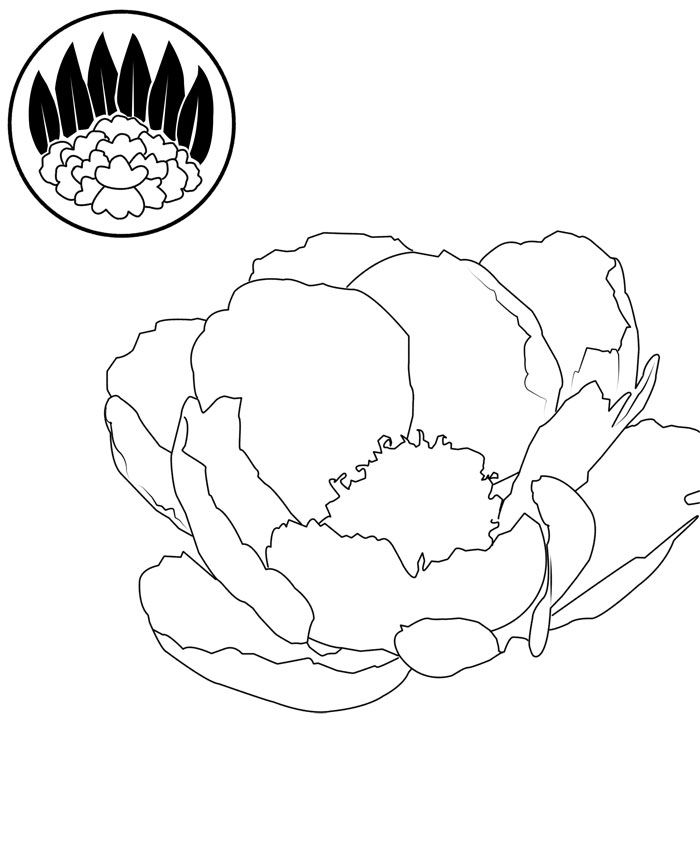 Drawn peony simple 17 Drawings & about sketch