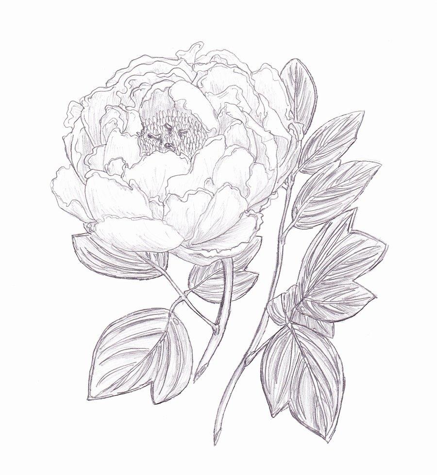 Drawn peony sketch Dan By X Garden Garden