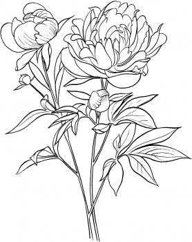 Drawn peony sketch  Common Officinalis or European