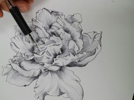 Drawn peony sketch Roses on Pinterest Drawing and