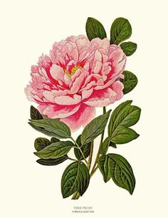 Drawn peony vintage Almost Print we cards Clip