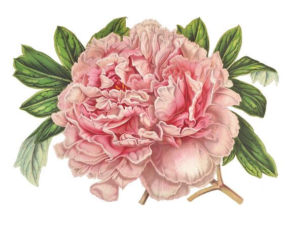 Drawn peony vintage // Botanical Art // //