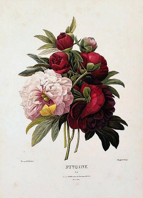 Drawn peony vintage floral Redouté Peonies Illustration & David