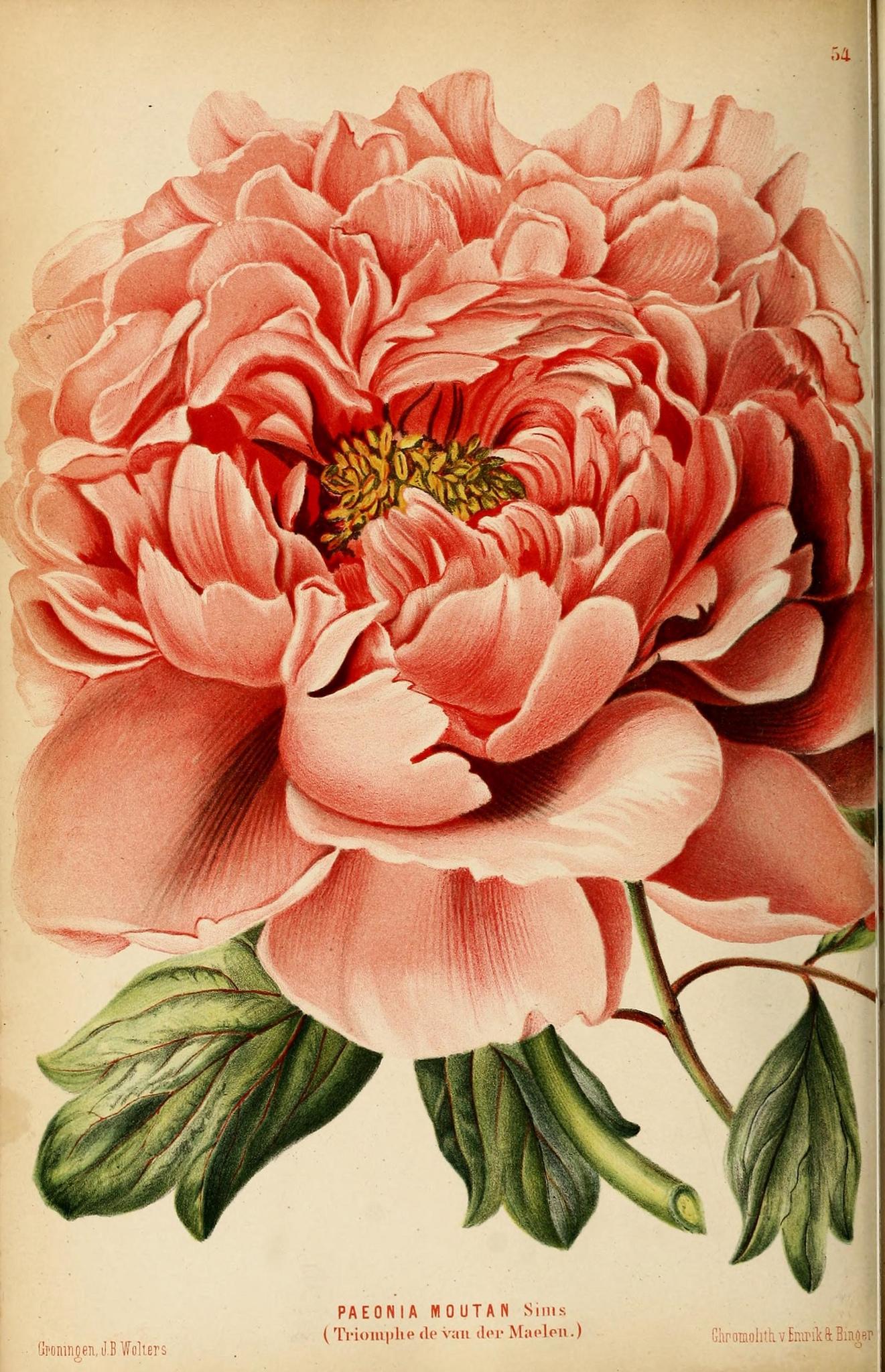 Drawn peony vintage floral Floral 25+ Free Printable #