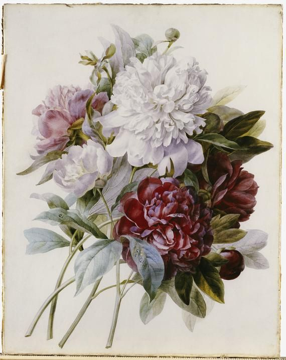 Drawn peony vintage floral Redouté Peonies on Pinterest images