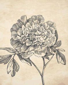 Drawn peony vintage floral Pencil Vintage background with Vintage