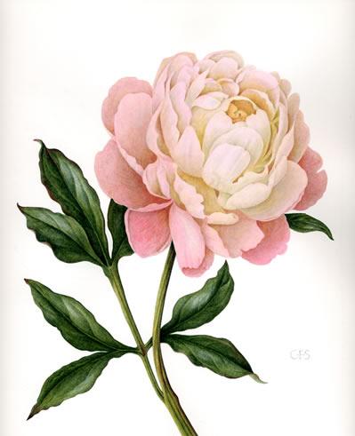 Drawn peony vintage rose Peony Bernhardt Sarah by Christine