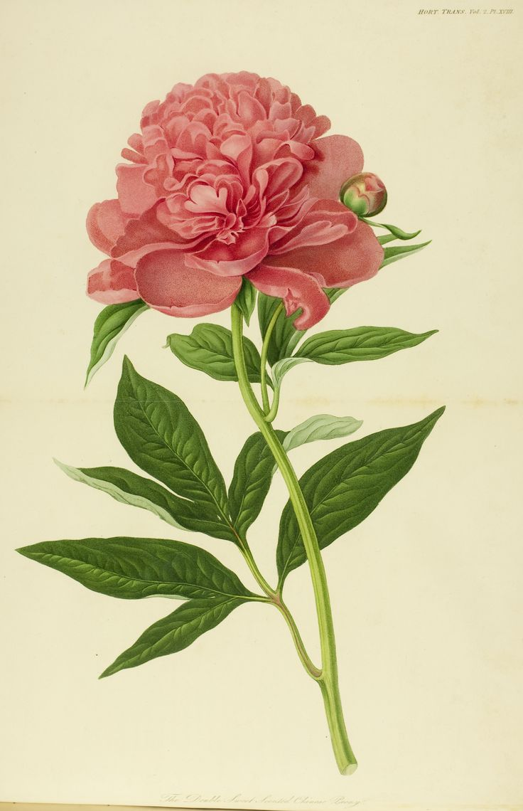 Drawn peony vintage rose The Sweet Best Chinese Peony