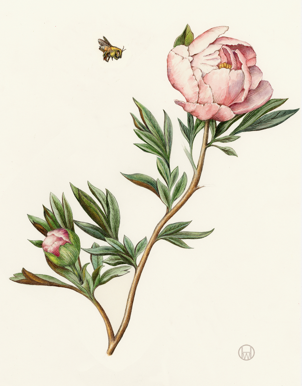 Drawn peony vintage rose Peony the illustrations flowers Wendy