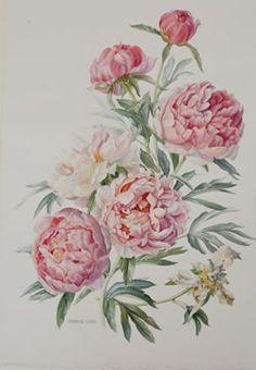 Drawn peony vintage rose Peony Beautiful material drawn style