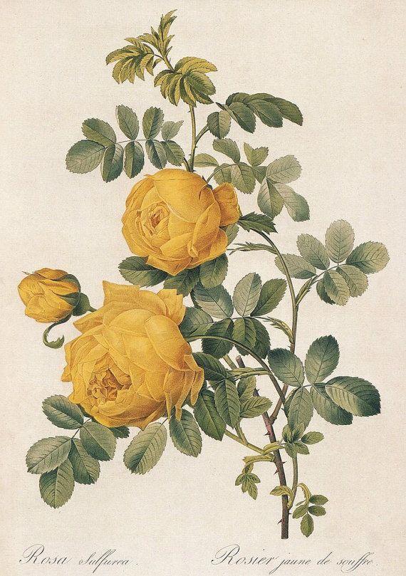 Drawn peony vintage rose Botanical 25+ Vintage rose print