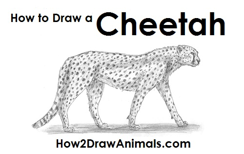Drawn pice cheetah Cheetah how to cheetah jpg