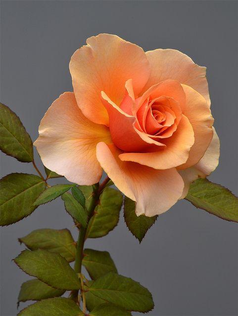 Drawn pice rose Pinterest best images rose 1666
