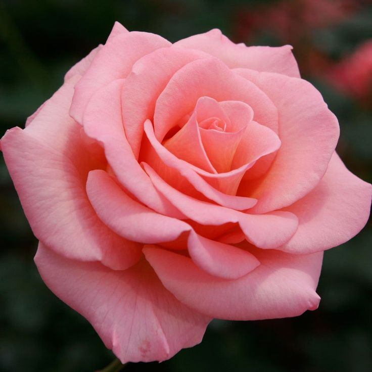 Drawn pice rose Best Google Rose Gardening HYBRID