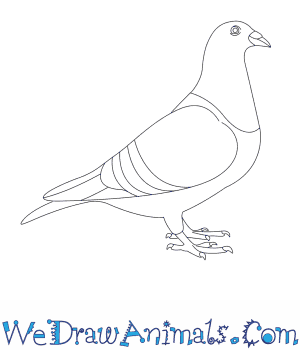 Drawn pigeon To Pigeon How a Draw