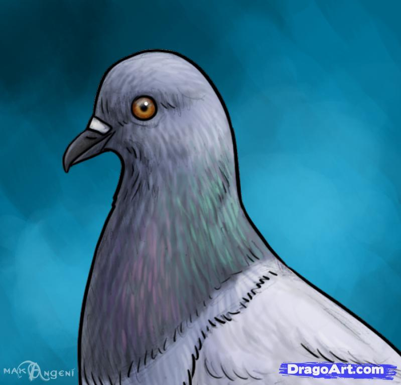 Drawn pigeon Birds  Online draw Pigeons