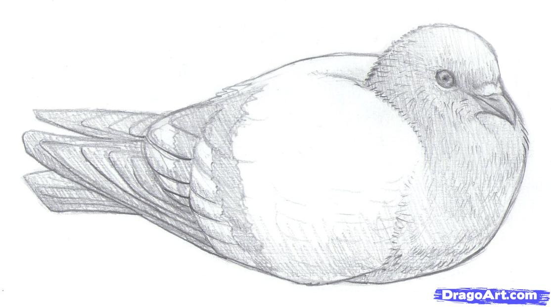 Drawn pidgeons To Pigeons pigeons step Step