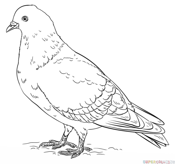 Drawn pigeon To by step pigeon How