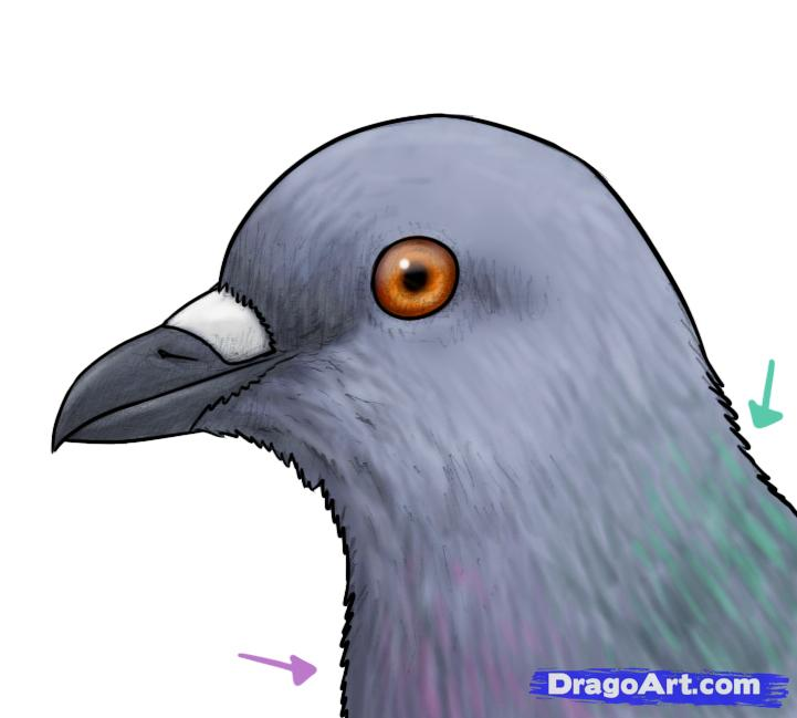 Drawn pigeon anime How to FREE Pigeons to